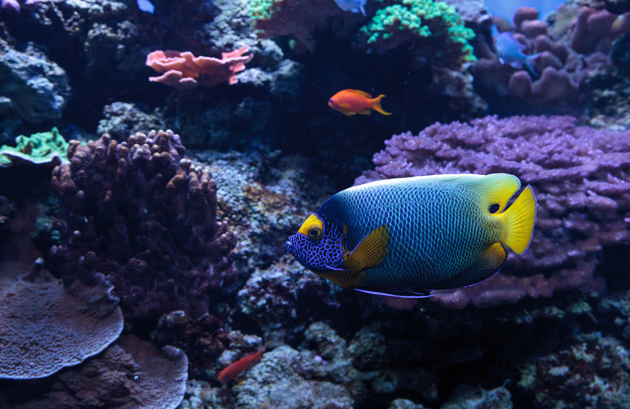 sea life, underwater, animals in the wild, animal themes, coral, undersea, no people, sea, fish, nature, one animal, swimming, animal wildlife, beauty in nature, yellow, water, clown fish, close-up, day, outdoors