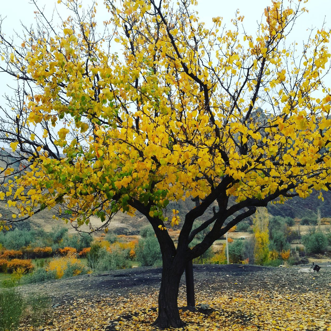 tree, branch, growth, nature, beauty in nature, yellow, tree trunk, tranquility, scenics, autumn, flower, day, no people, outdoors, sky, fragility, freshness