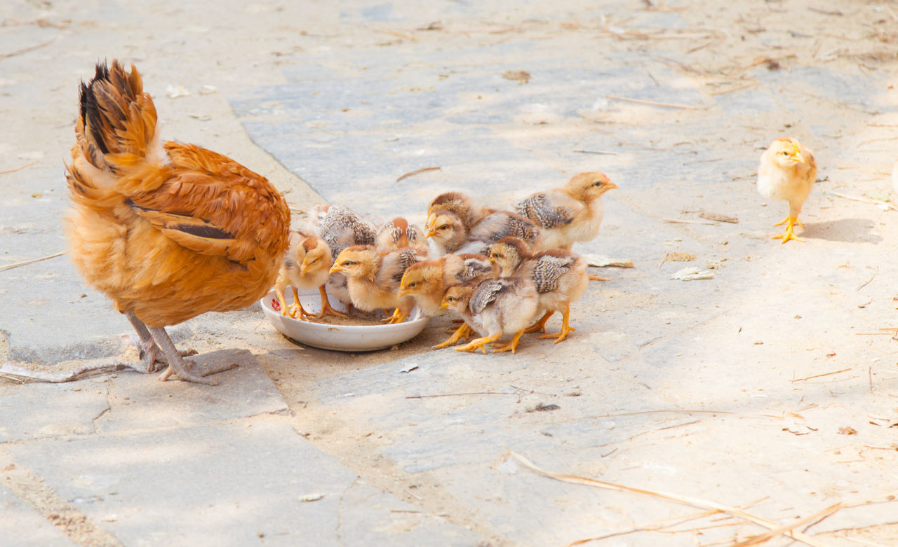 Animal Family Animal Themes Animals In The Wild Day Domestic Animals Feeding  Five Animals Four Animals High Angle View Livestock Mammal Medium Group Of Animals Outdoors Sunlight Three Animals Togetherness Two Animals Wildlife Young Animal