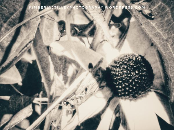Two grasshoppers in the garden sitting on Black-eyed Susan's. Bug Plant Insect Garden Flower Close-up Leaves KimberlyJTilley Blackandwhite Outdoors Grasshoppers