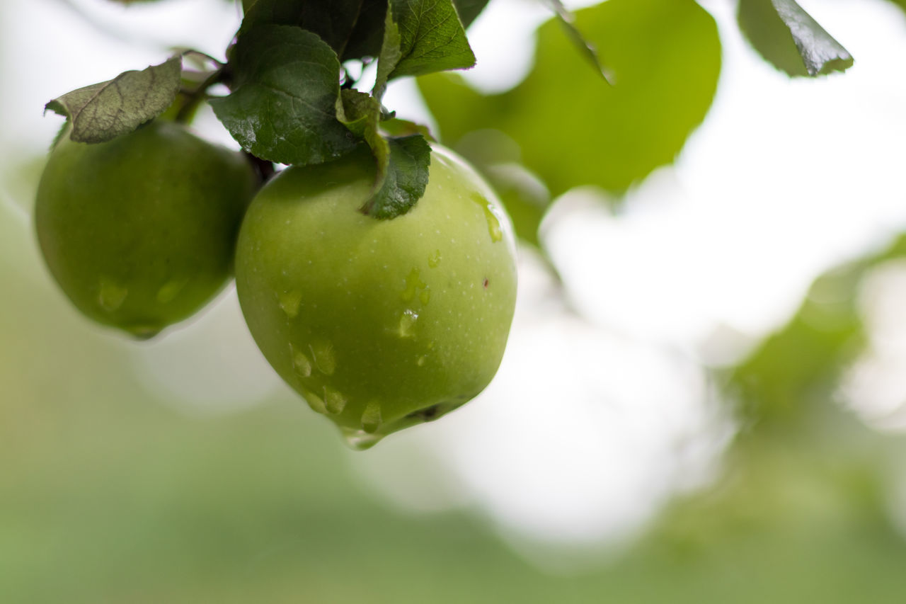 Apple Green Green Color Rain Rainy Days Tree Apple - Fruit Apple Tree Close-up Drop Focus On Foreground Food Food And Drink Freshness Fruit Green Color Growth Healthy Eating Leaf Nature No People Outdoors Tree Unripe Waterdrops
