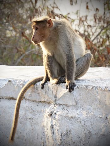 Animal Themes Animal Wildlife Animals In The Wild Day Macaque Macaque Monkey Macaques Mammal Monkey Nature No People One Animal Outdoors