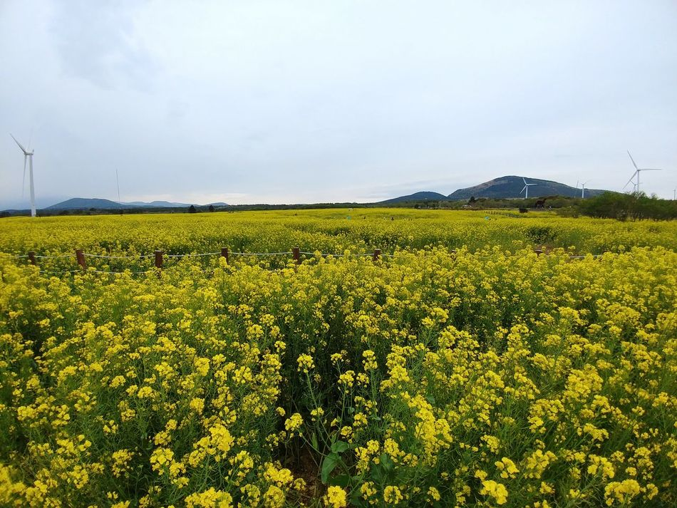 Field Agriculture Day Crop  Rural Scene Nature Cloud - Sky Outdoors Growth Social Issues No People Tranquility Landscape Beauty In Nature Sky Storm Cloud Flower Freshness RapeFlowers Jeju Island, Korea Seoul, Korea V20