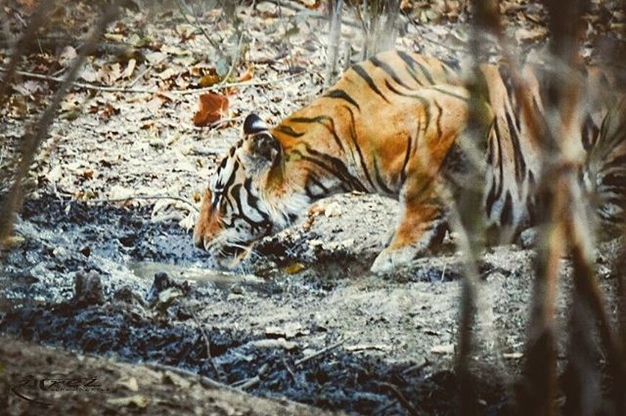 Target Locked..!! Rangrezphotography Wildlifephotography Wildcat Royabengaltiger Tiger Indianforest InstaWild Jungle Nikonphotography Nikon5300d Iamwildcat Iamnikon Nature Breathtaking India Amzingwild Natgeo Animalplanet