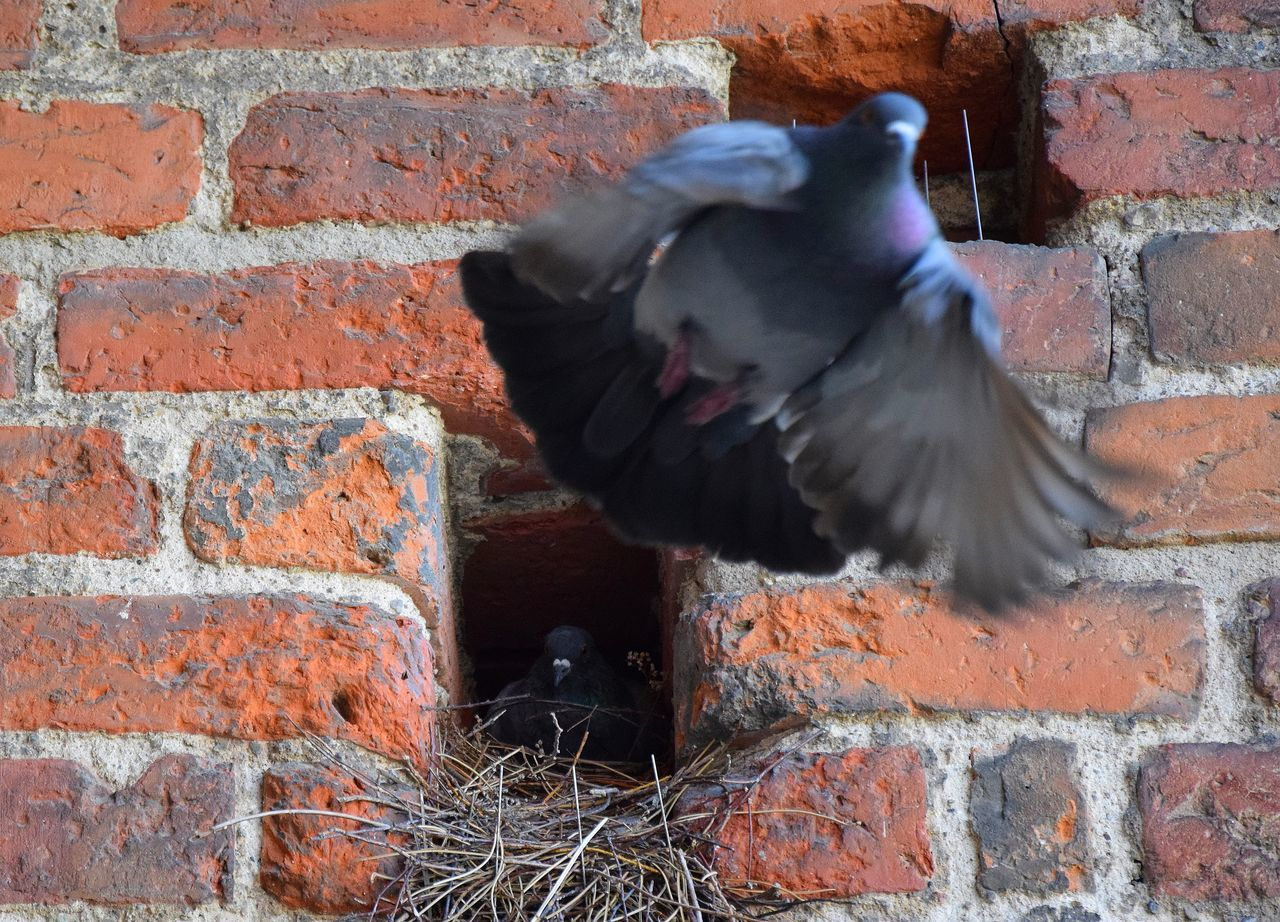 Animal Animal Themes Bird Birds Brick Wall Day No People Old Old Buildings Outdoors Pigeon Pigeon Bird  Pigeons In Flight Pigeonslife Wall - Building Feature Zoology