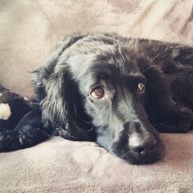 Dogsofinstagram Workingcocker Lovehim Home