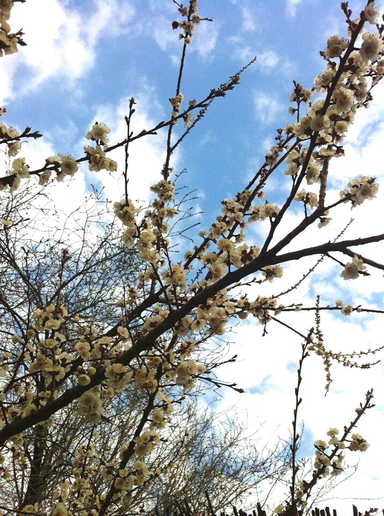 Nature's Diversities Spring The Week Of Eyeem Flowers Sky Sky And Clouds Clouds And Sky Clouds Blue Blue Sky Tree Brunches Nature