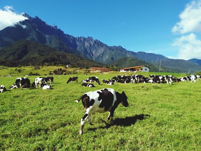 Desa dairy cattle farm, kundasang, sabah, malaysia Animal Mountain Landscape Mountain Range Large Group Of Animals Agriculture Grass Grazing Mammal Scenics Outdoors Sky Livestock Sabah Rock Kinabalumountain Clear Sky Cold Temperature Borneoadventure Travel Destinations Tranquil Scene Sabahmalaysia Personal Perspective Beauty In Nature Kinabalu Mount EyeEmNewHere Miles Away Uniqueness Lieblingsteil