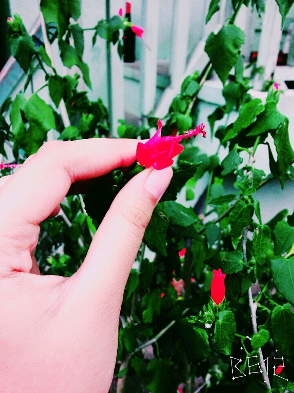 smallest hibiscus flower Flower Beautiful EvenThough Small
