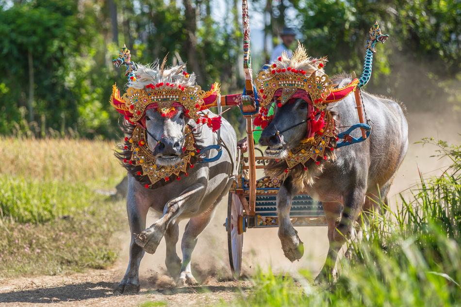 Beautiful stock photos of buffalo,  Animal-Powered Vehicle,  Buffalo,  Celebration Event,  Competition