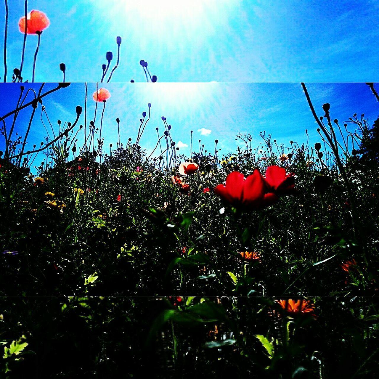 Sun worshipping☀🏵 Wild Flowers Sun Worshipping Poppies  Stems Sun Summer2016 Beauty In Nature Flower Photography Flowers, Nature And Beauty Beautiful Wildflowers Blue Sky Nature Freshness Horfield Bristol Uk