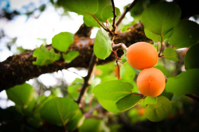 Apricot Tree ApricotBlossom Apricots Dandelion Fences Flowerporn Flowers,Plants & Garden Foodphotography Fruit Tree Fruitporn Fruityloops Orange Color Pinecone Treescollection Colour Of Life