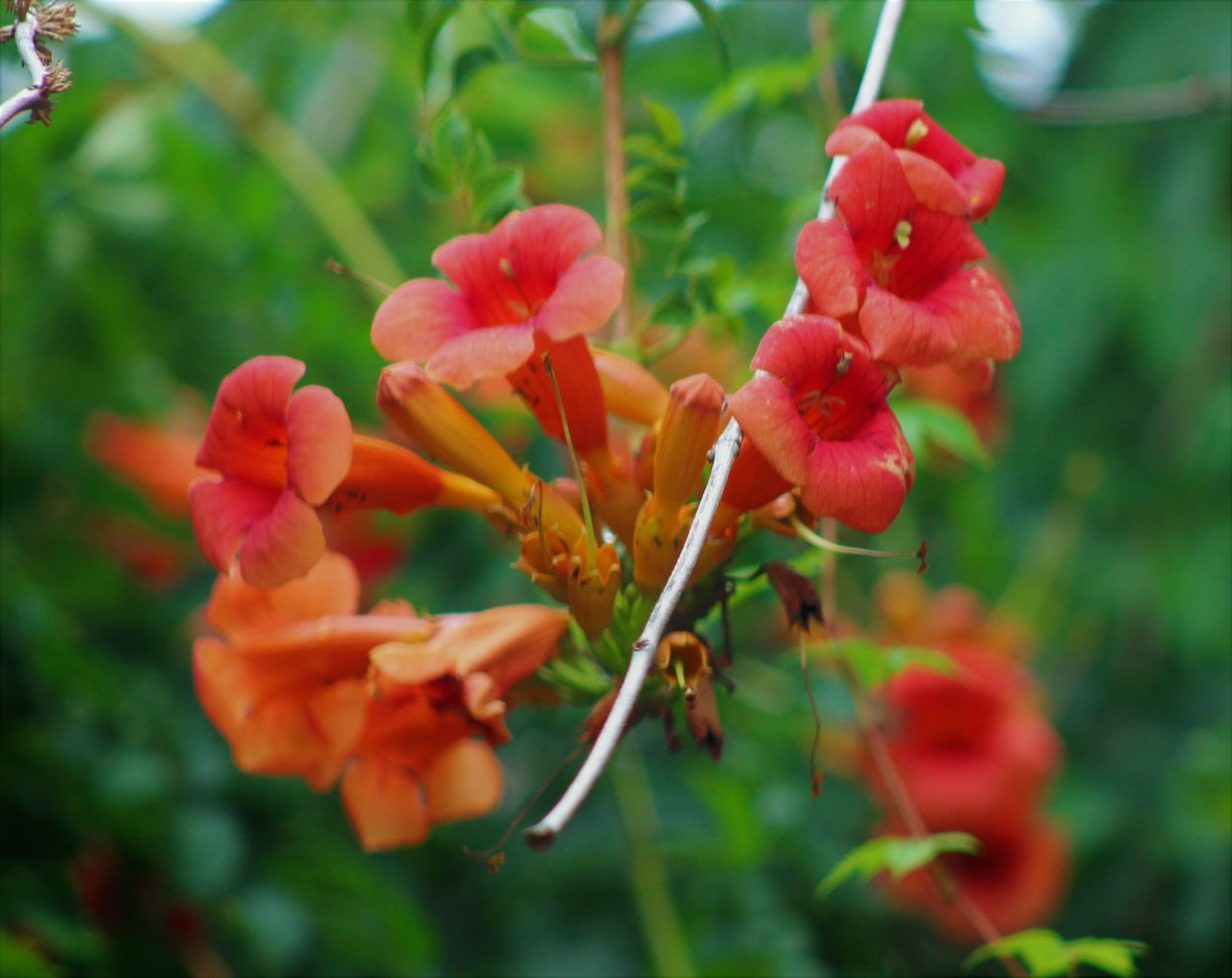 growth, flower, plant, nature, beauty in nature, red, petal, blooming, no people, fragility, outdoors, flower head, close-up, freshness, day