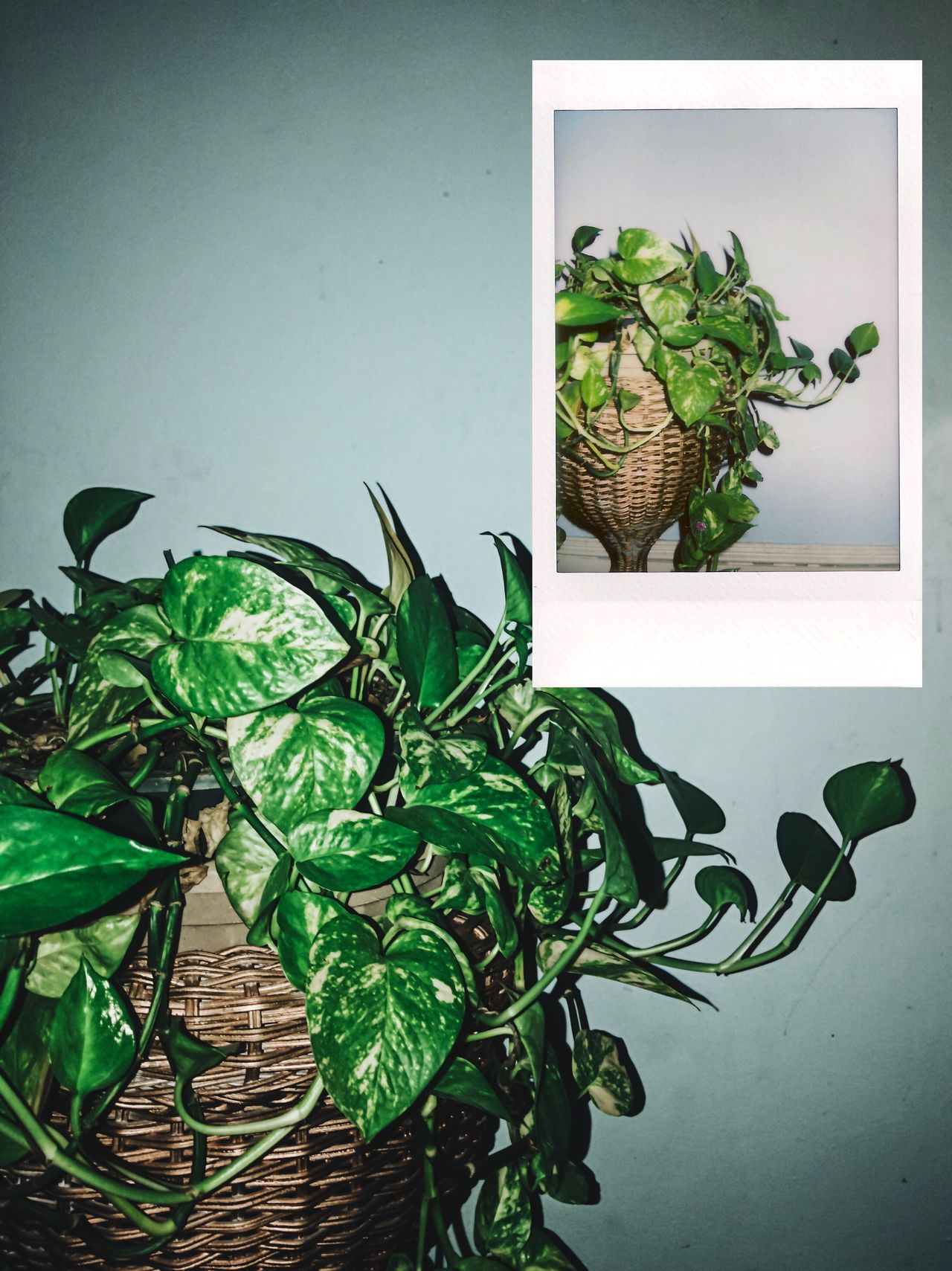 Instant Photo A Day Film Photography Film Is Not Dead Plant Growth Leaf Nature Green Green Color No People Beauty In Nature Fragility Freshness Indoors  Day Film