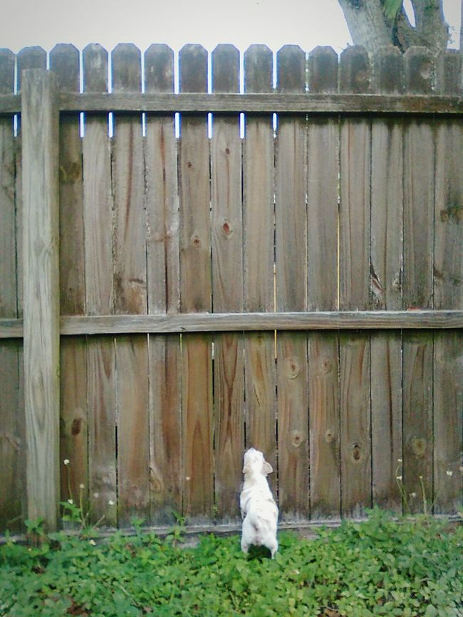 Daisy peeking through the fence, being a nosy neighbor. Outdoors Fence Dog Pets Animal Themes Domestic Animals Animal Entrance Gate One Animal Full Length Spying Peeking Looking To The Other Side Looking For Trouble Eye See You Eye Spy Nosy Neighbor Nosy Animals Cute Pets Curiosity Chihuahua Neighborhood Watch Dogs Of EyeEm FUNNY ANIMALS