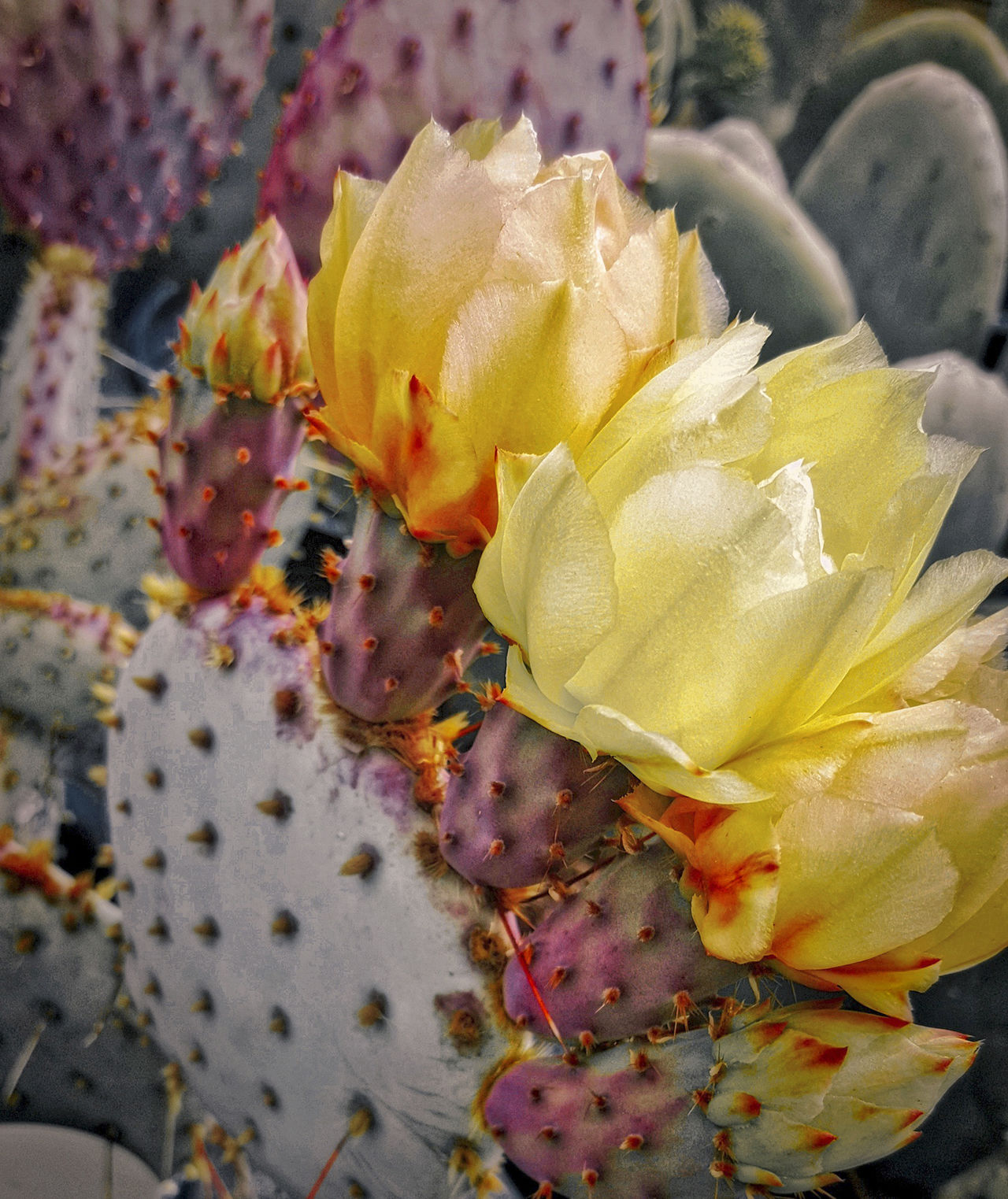 Best EyeEm Shot Cacti Cacti Flowers Close-up Prickly Pear Cactus Rich Colors Yellow