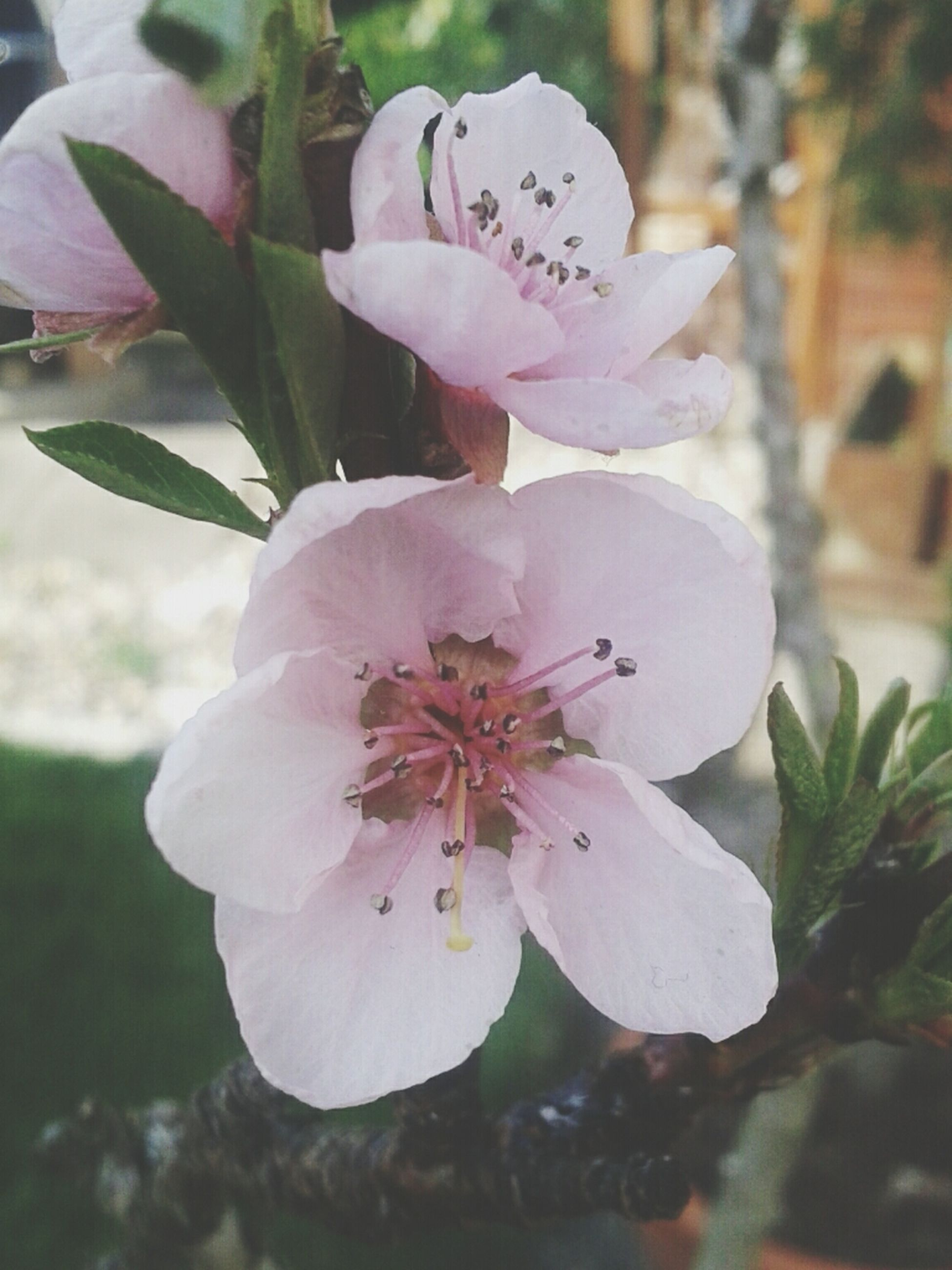 flower, petal, freshness, fragility, flower head, growth, close-up, beauty in nature, stamen, focus on foreground, pollen, blooming, nature, single flower, in bloom, plant, blossom, pink color, white color, day