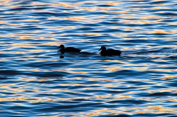 Ducks on the Harbour at Sunset Sunset Silhouettes Sunset_collection NYC Harbour NYC NYC Photography Colors Colorful Silhouette Silhouettes