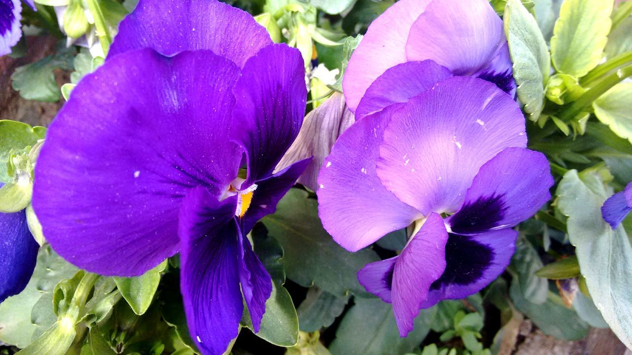 flower, petal, fragility, beauty in nature, flower head, nature, growth, freshness, purple, plant, day, no people, outdoors, petunia, blooming, close-up, pansy
