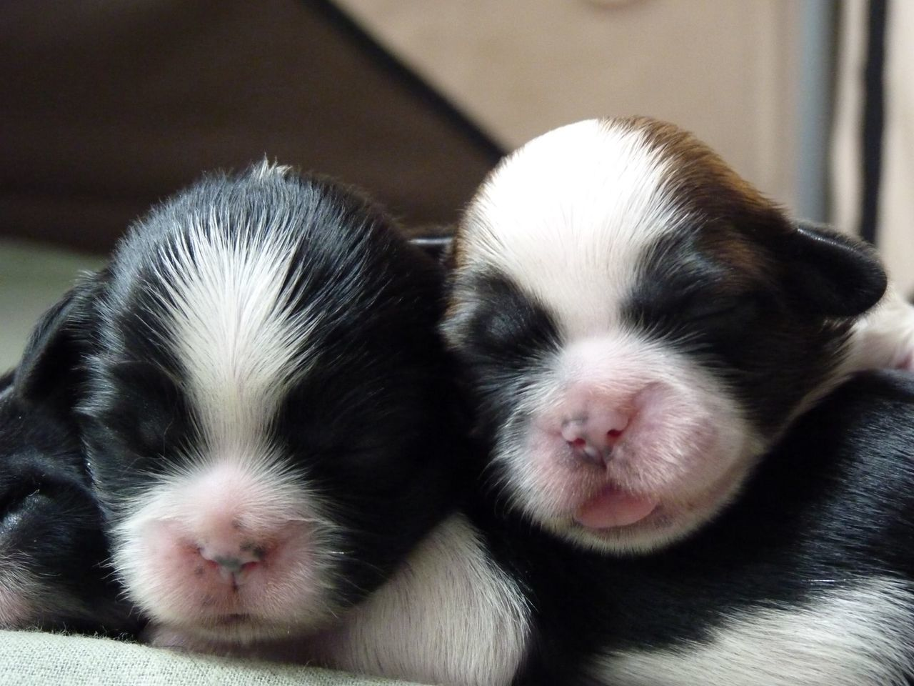 Close-Up Of Shih Tzu Puppies Sleeping On Bed