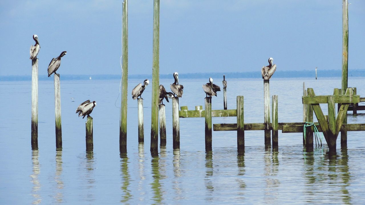 Pelicans Sitting Bay Waters Open Birds Flock Resting Pelicans Feather Docks Wild Life Open Sky Blue Piling Showcase: January Perspective Full Frame Composition Together