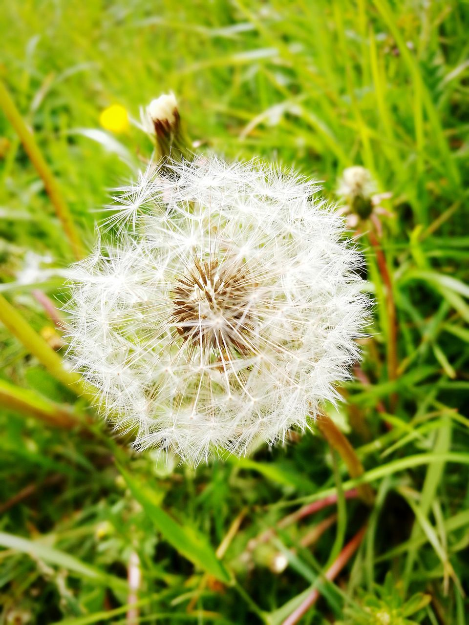 flower, nature, fragility, white color, dandelion, beauty in nature, growth, flower head, close-up, softness, freshness, uncultivated, plant, wildflower, no people, field, focus on foreground, outdoors, green color, day, grass