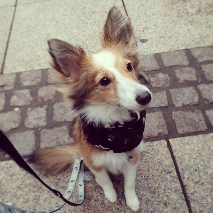 Being cute. Sheltie Sheltiemix Cute Dog begging mixedbreed sheltiesofig_