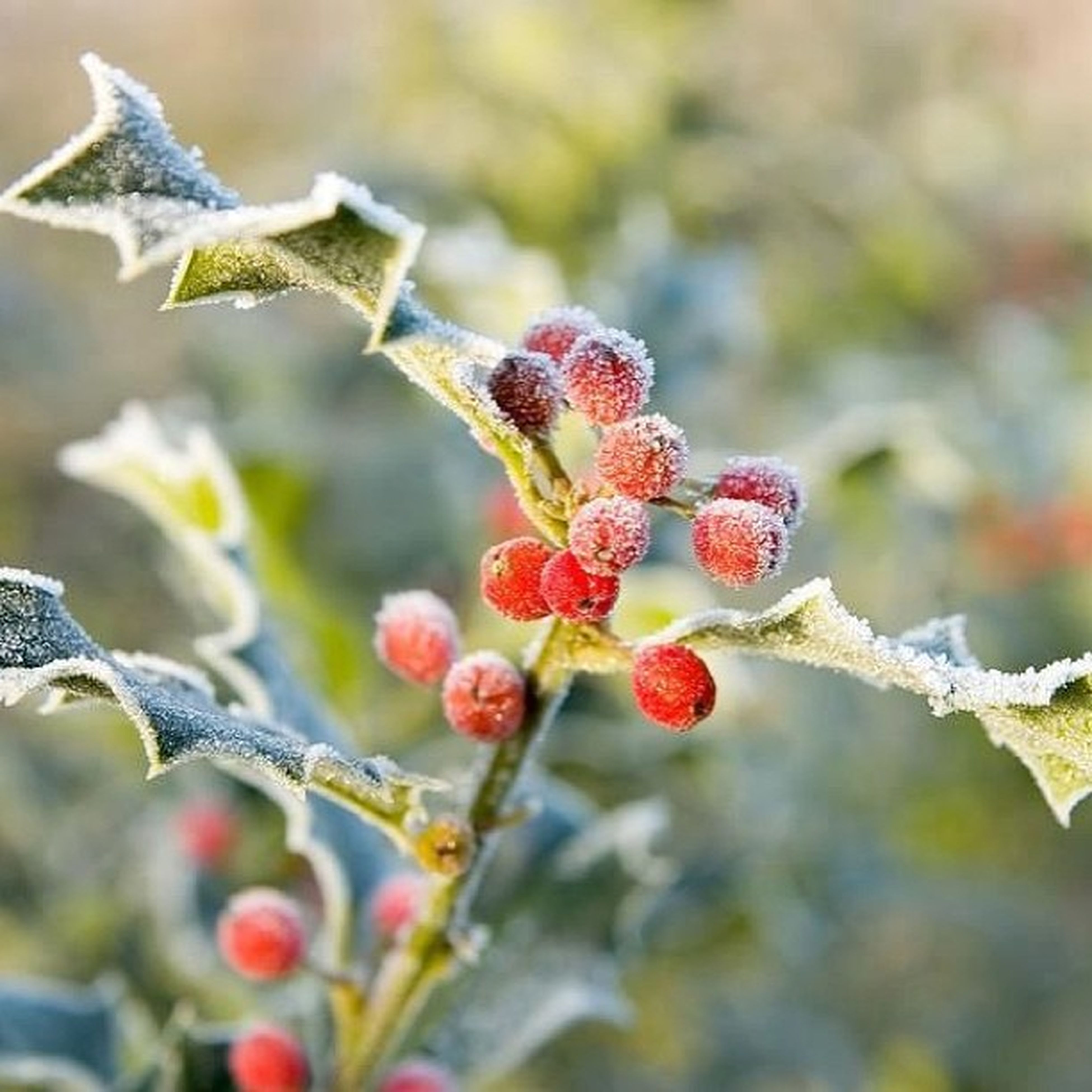 branch, fruit, focus on foreground, freshness, close-up, red, growth, nature, food and drink, twig, food, tree, berry, berry fruit, bud, day, selective focus, plant, beauty in nature, stem