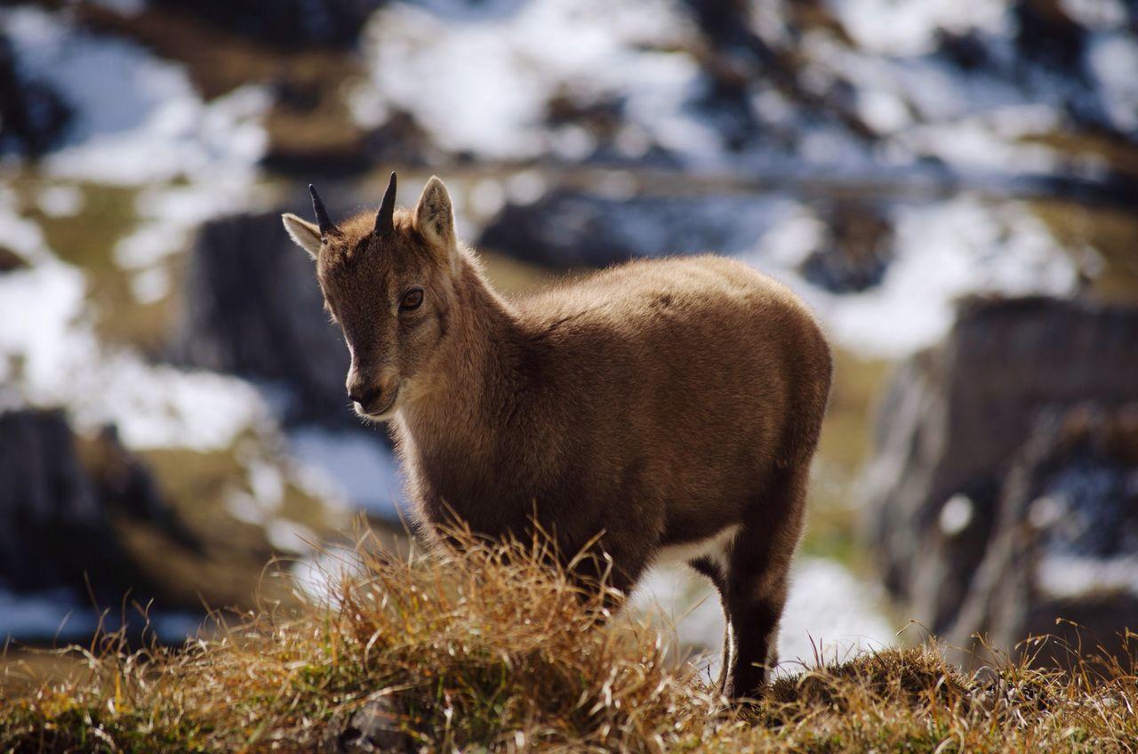 High Angle View Of Alpine Ibex