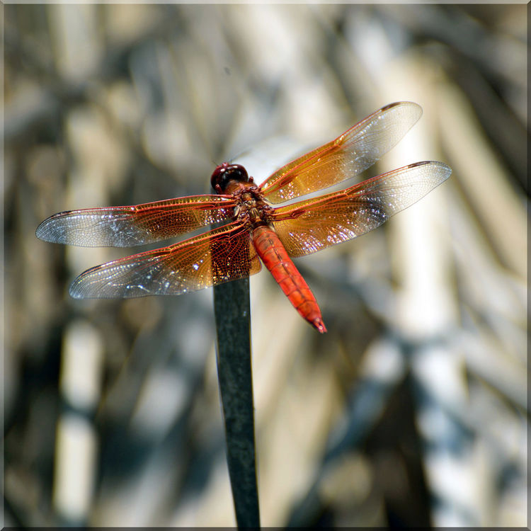 Dragonfly At Garin 4 Garin Regional Park Hayward, Ca. Hayward Area Recreation Dept. Dragonfly Flame Skimmer Firecracker Insect Libellula Saturata Perching Dry Grass Reeds Insect_Collection Insect Photography Skimmer Hiking Adventures Hiking❤ Close-up Wildlife Nature Beauty In Nature Nature_collection Focus On Foreground Jordan's Pond