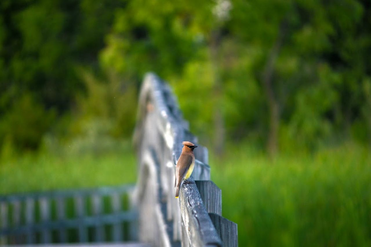 Return to the Marsh and we spot a Cedar Waxwing Animal Themes Animals In The Wild Avian Bird Bird Photography Cedar Waxwing Cedar Waxwings Cedarwax Crosswinds Marsh Day Feathers Focus On Foreground Full Length Green Color Michigan One Animal Outdoors Perching Railing Side View Small Bird Tiny Bird Tranquility Wildlife Zoology