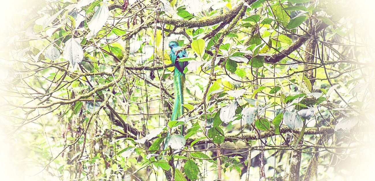 Tree Nature Plant Green Color Low Angle View Close-up Beauty In Nature El Quetzal Quetzal Ave Nacional
