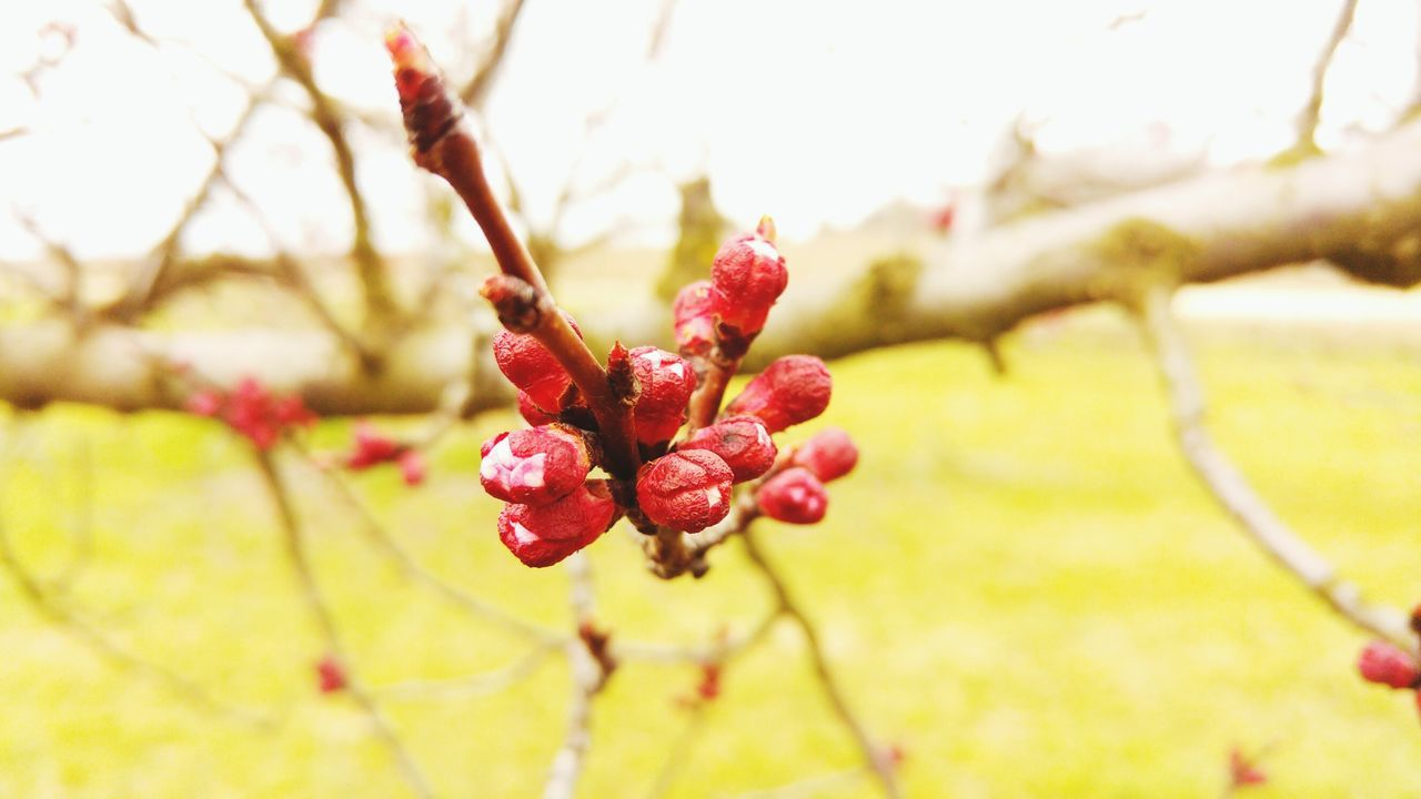 growth, red, nature, focus on foreground, beauty in nature, close-up, no people, tree, day, flower, outdoors, plant, branch, freshness, fragility, flower head