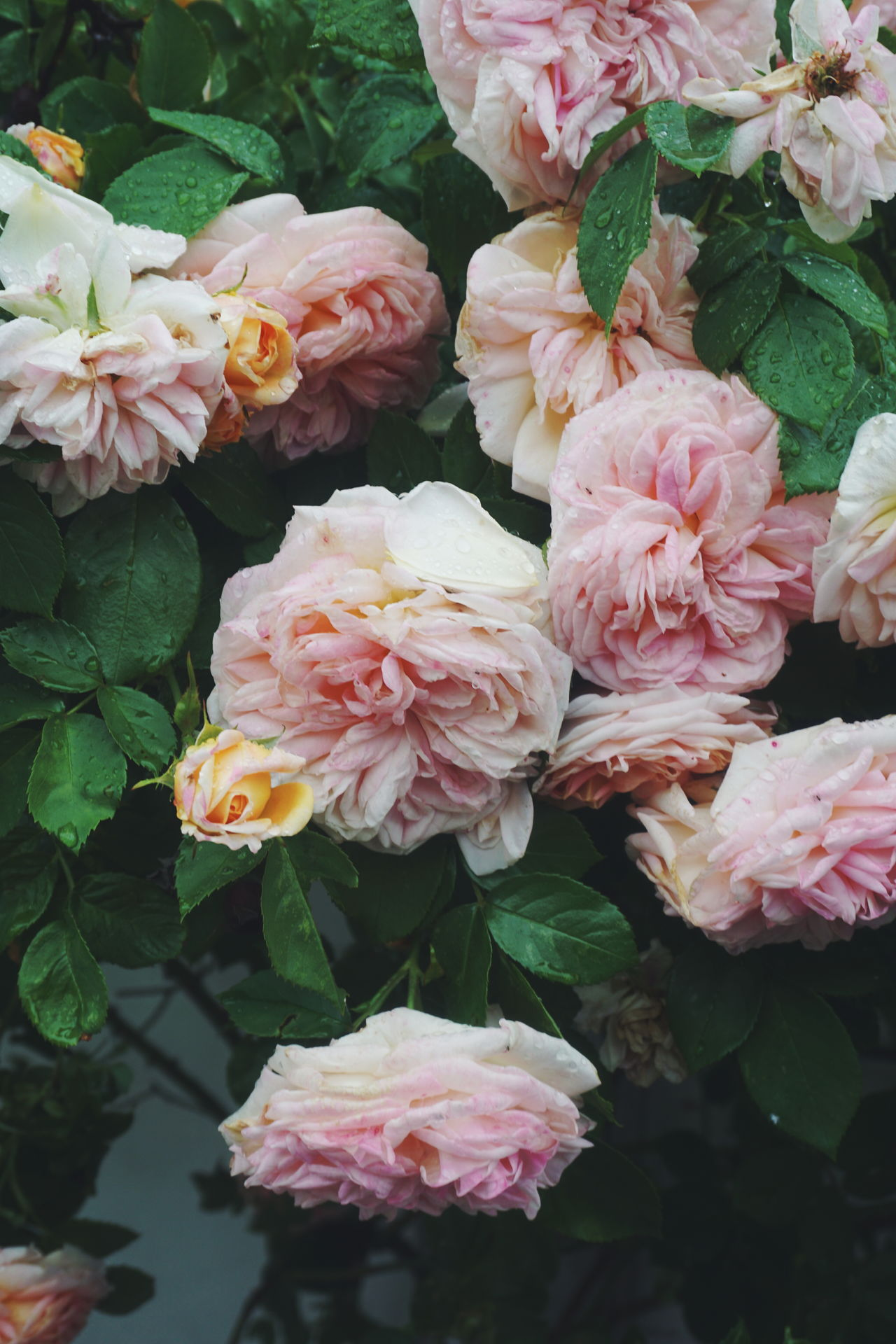 Pink roses in rain Beauty In Nature Close-up Day Flower Flower Head Fragility Freshness Growth Leaf Nature No People Outdoors Peony  Petal Pink Color Pink Rose Pink Roses Plant Rose - Flower Roses