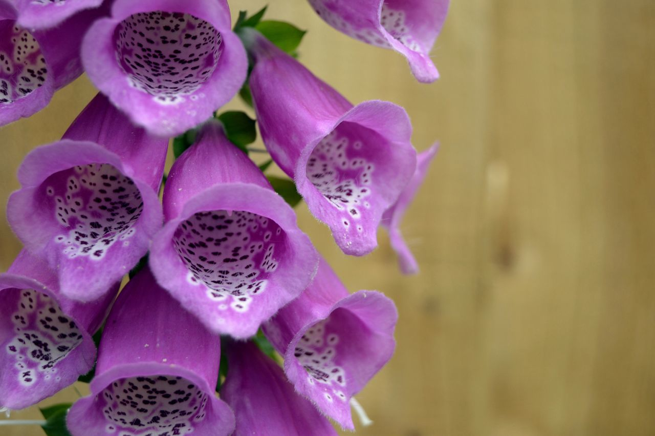Beauty In Nature Bright And Beautiful Bright Colors Close Up Close-up Day Flower Flower Head Foxglove Fragility Freshness Growth Nature No People Outdoors Patterns In Nature Petal Pink Color Plant Purple Spots