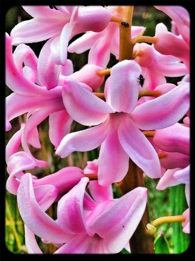 Jacinto #valledellozoya #spring #primavera #flower #pinkpower #flores #nature