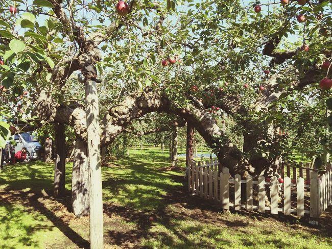 樹齢136年。It was born in 1878. Apple Tree Old Tree