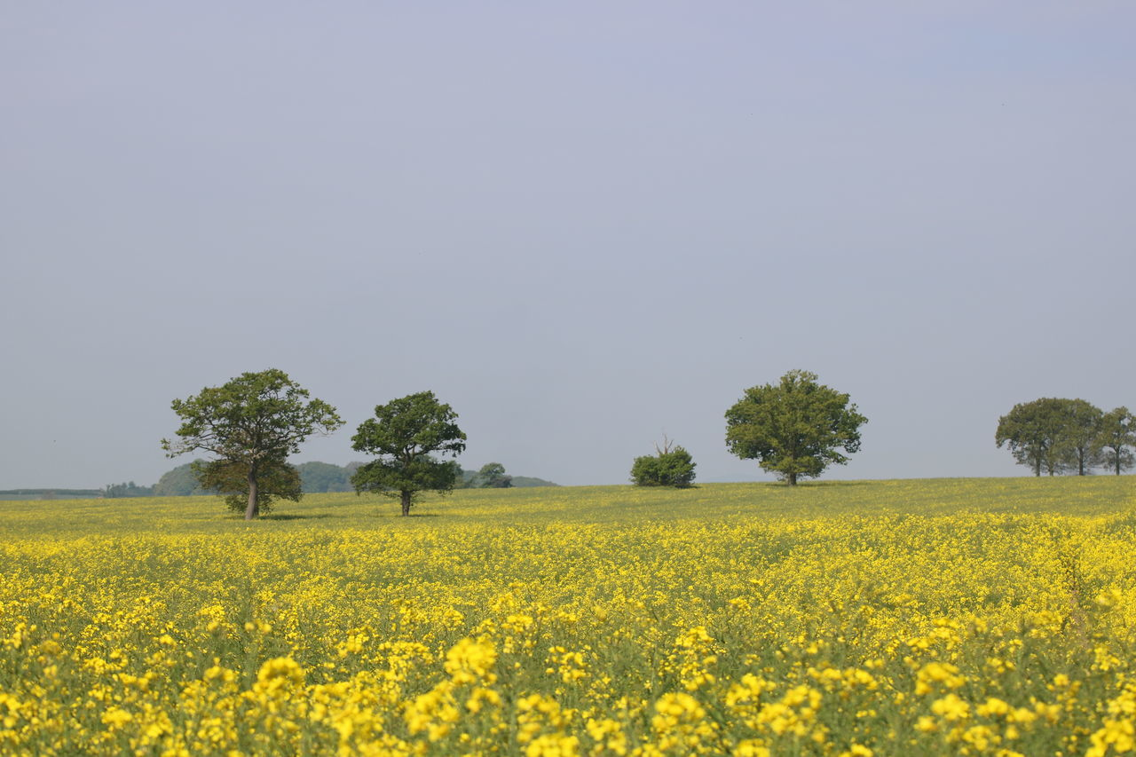 yellow, field, agriculture, oilseed rape, crop, nature, beauty in nature, landscape, flower, farm, rural scene, tranquil scene, cultivated land, tranquility, growth, clear sky, mustard plant, day, scenics, no people, plant, outdoors, tree, sky