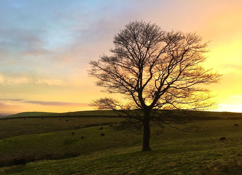 Lonely tree in Cheshire Nature Tranquil Scene Tranquility Beauty In Nature Landscape Tree Sunset Solitude Sky Lone Scenics Idyllic No People Remote Isolated Bare Tree Outdoors Field Grass Day