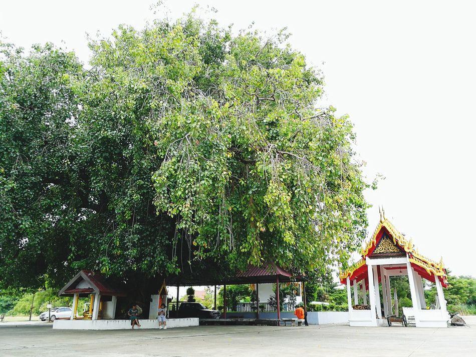 Bodhi Tree. Bodhitree Thai Temple Temple Outdoors Huaweimate9 Big Tree EyeEmPaid
