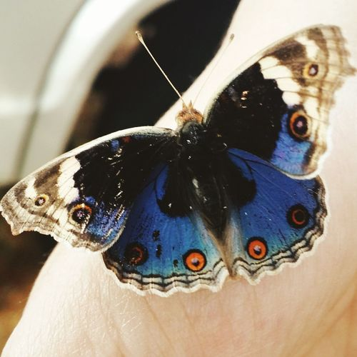 Blue Butterfly India Amazing Beauty Adventures