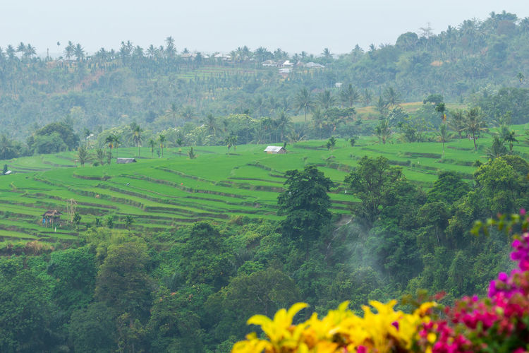 View of paddy fields near Mount Rinjani in Lombok, Indonesia Agricultural Land Cereal Plant Island Lombok-Indonesia Paddy Field Rinjani National Park Rural Scene Tourist Attraction  Tranquil Scene