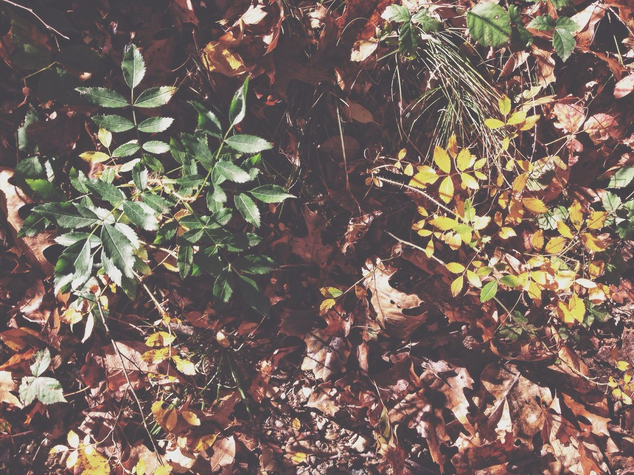 leaf, nature, growth, no people, forest, outdoors, autumn, foliage, day, plant, close-up