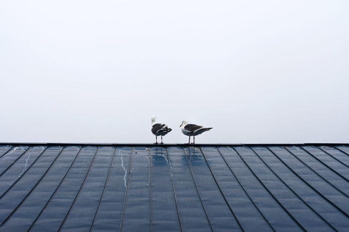 EyeEm Selects Day Outdoors No People Animal Themes Bird Nature Perching Sky Seagull Rebun Island Hokkaido Japan