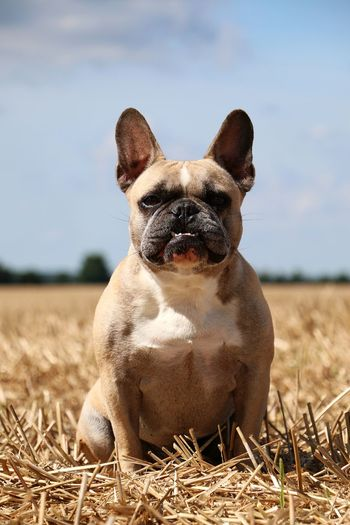 french bulldog is sitting on a stubble field in the sunshine Animal Themes Day Dog Domestic Animals Field Focus On Foreground Französische Bulldogge  French Bulldog Frenchbulldog Looking At Camera Mammal Nature No People One Animal Outdoors Pets Portrait Sitting Sky Stubble Stubble Field Stubblefield Summer