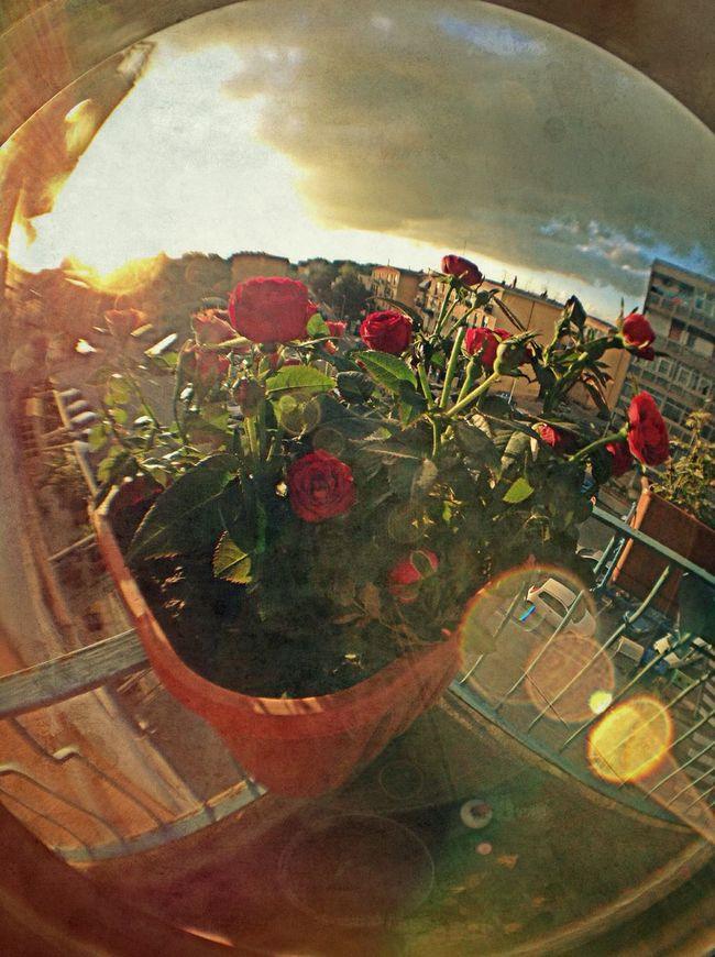 That's Me EloediLo OpenEdit Flowers Cagliari Street Photography Roses Balcony Light Fisheye