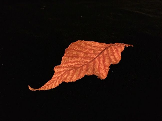 IPhoneography Leaf Golden Leaf Single Leaf Minimalist Buckeye Leaf Black Backround Contemplative