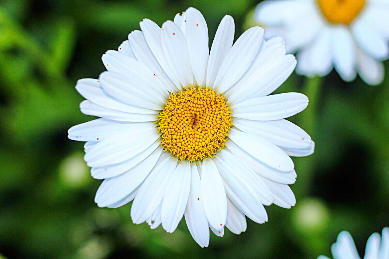flower, petal, nature, growth, flower head, beauty in nature, white color, fragility, freshness, pollen, blooming, plant, no people, close-up, outdoors, day
