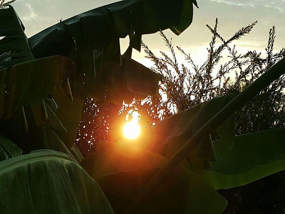 Sunset Nature Outdoors Banana Leaves Sunlight Morning Sun Morning Light Sun Through Trees Sun Through Palm Trees Sun Through A Tree