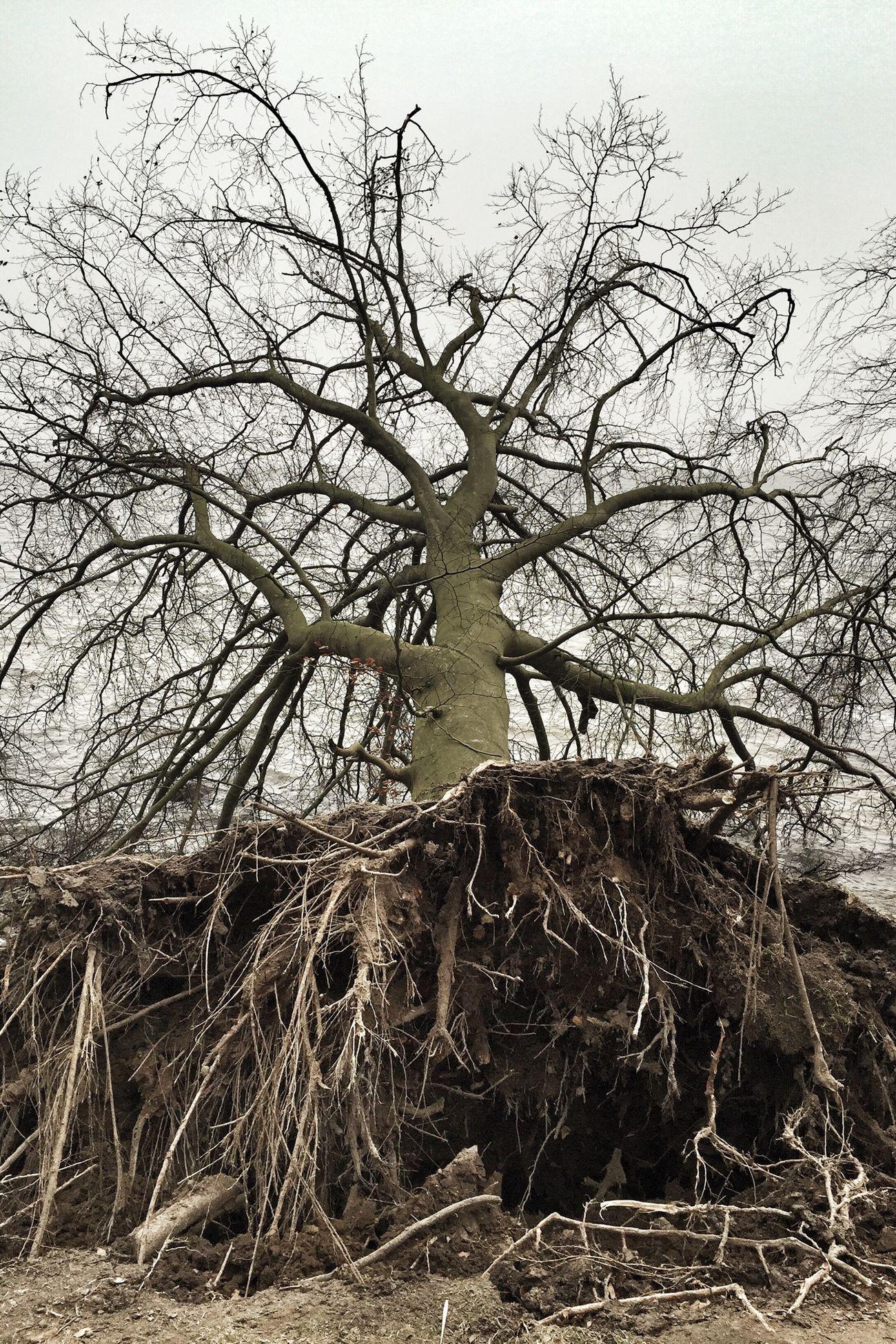 Baltic Sea Insel Rügen TreePorn Dead Tree Mystic Nature Entwurzelt